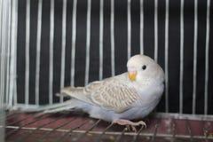 Птица волнистого попугайчика Стоковое Изображение