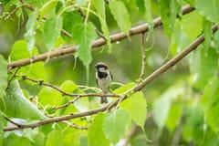 Птица (воробей дома) на дереве в природе одичалой Стоковая Фотография