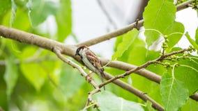Птица (воробей дома) на дереве в природе одичалой Стоковые Изображения RF