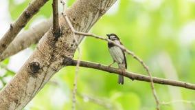 Птица (воробей дома) на дереве в природе одичалой Стоковое Фото