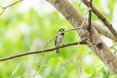 Птица (воробей дома) на дереве в природе одичалой Стоковая Фотография RF