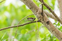 Птица (воробей дома) на дереве в природе одичалой Стоковые Фото