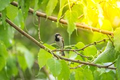 Птица (воробей дома) на дереве в природе одичалой Стоковые Изображения