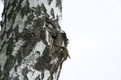 птица воробей подает птицы младенца на березе Стоковая Фотография