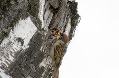 птица воробей подает птицы младенца на березе Стоковое Изображение