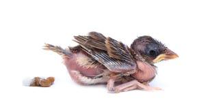 Птица воробья младенца испражняется на белой предпосылке Стоковое Фото