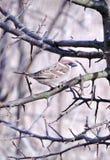 Птица воробья на ветви дерева Стоковое Изображение