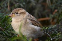 Птица воробья на ветви Стоковая Фотография RF