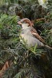 Птица воробья на ветви Стоковое Фото