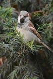 Птица воробья на ветви Стоковое фото RF