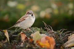 Птица воробья на ветви Стоковое Изображение RF
