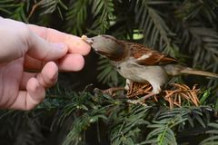 Птица воробья на ветви Стоковое Изображение