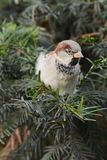 Птица воробья на ветви Стоковые Фотографии RF