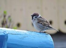 Птица воробья на древесине Стоковые Изображения