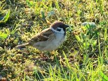 Птица воробья на траве Стоковые Фотографии RF