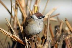 Птица воробья дома Стоковые Изображения RF