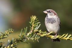 Птица воробья отдыхая на ветви Стоковые Изображения RF