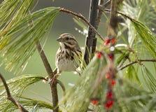 Птица воробья садить на насест в ветвях иглы сосны Стоковые Изображения