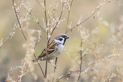 Птица воробья сидя на ветвях полыни Стоковая Фотография RF