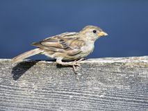Птица воробья Стоковая Фотография RF