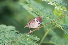 Птица воробья Стоковое Изображение RF