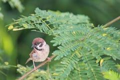 Птица воробья Стоковые Фото