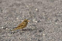 Птица воробья Стоковые Фотографии RF