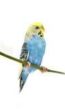 Птица волнистого попугайчика Стоковая Фотография RF