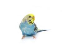 Птица волнистого попугайчика Стоковые Изображения