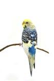 Птица волнистого попугайчика Стоковая Фотография