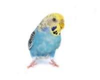 Птица волнистого попугайчика Стоковые Фотографии RF