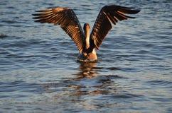 Птица воды пеликана Стоковые Изображения