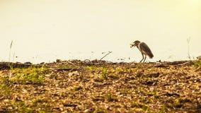 Птица выручая рыб, птицы есть рыб Стоковое Фото