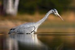 Птица в воде Серая цапля, Ardea cinerea, в воде, запачканная трава в предпосылке Цапля в озере леса Птица в habi природы Стоковые Фото
