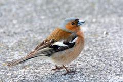 Птица в городе, дикие животные зяблика прилетна Стоковые Фотографии RF