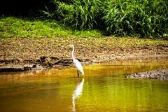 Птица в охраняемой природной территории негра Caño Стоковые Изображения RF