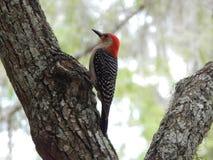 Птица в поисках еды Стоковое Изображение RF