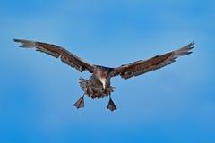 Птица в полете Гигантский буревестник, большая птица моря на небе птица в среду обитания природы Птица моря от острова морсого ль Стоковое Фото