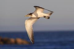 Птица в полете Стоковые Фотографии RF