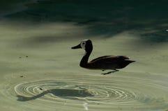 Птица в пруде Стоковая Фотография RF