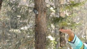 Птица в руке ` s женщин ест семена акции видеоматериалы