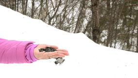 Птица в руке ` s женщин ест семена видеоматериал
