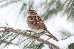 Птица в снежке Стоковая Фотография