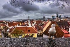 Птица в старом Таллине, Эстонии стоковое изображение rf