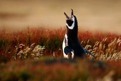 Птица в траве Пингвин в красной траве вечера, пингвин Magellanic, magellanicus spheniscus Черно-белый пингвин в n Стоковые Изображения
