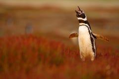 Птица в траве Пингвин в красной траве вечера, пингвин Magellanic, magellanicus spheniscus Черно-белый пингвин в n Стоковое Фото
