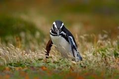 Птица в траве Пингвин в природе Пингвин Magellanic с поднимает вверх крыло Черно-белый в сцене живой природы Красивое animnal f Стоковые Фото