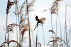 Птица в тростниках Стоковая Фотография