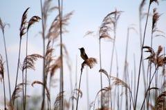 Птица в тростниках Стоковое Изображение RF