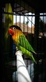 Птица влюбленности Стоковая Фотография RF